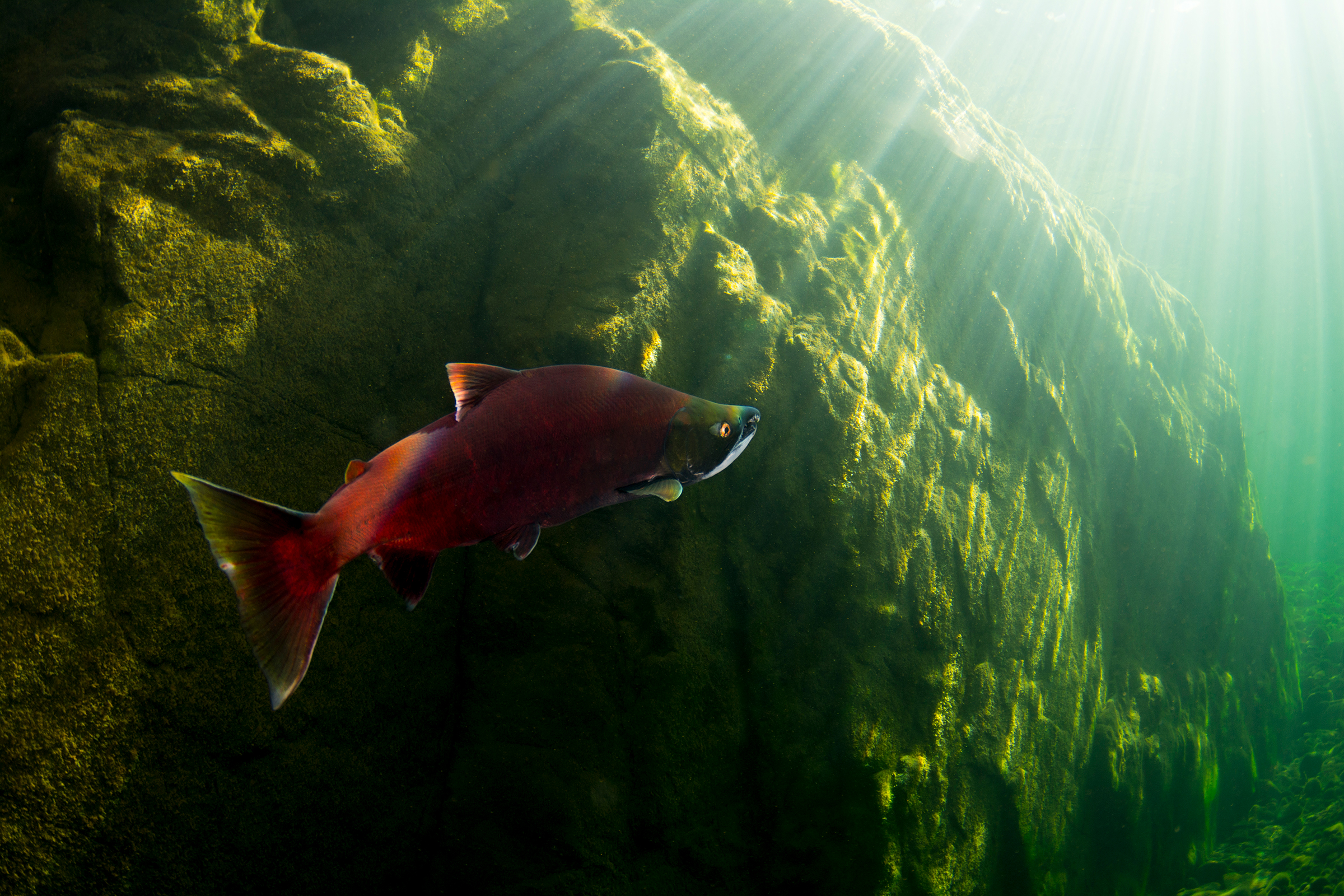 A spawning sockeye salmon makes its way toward the tributary where it hatched years earlier. Photograph by April Bencze