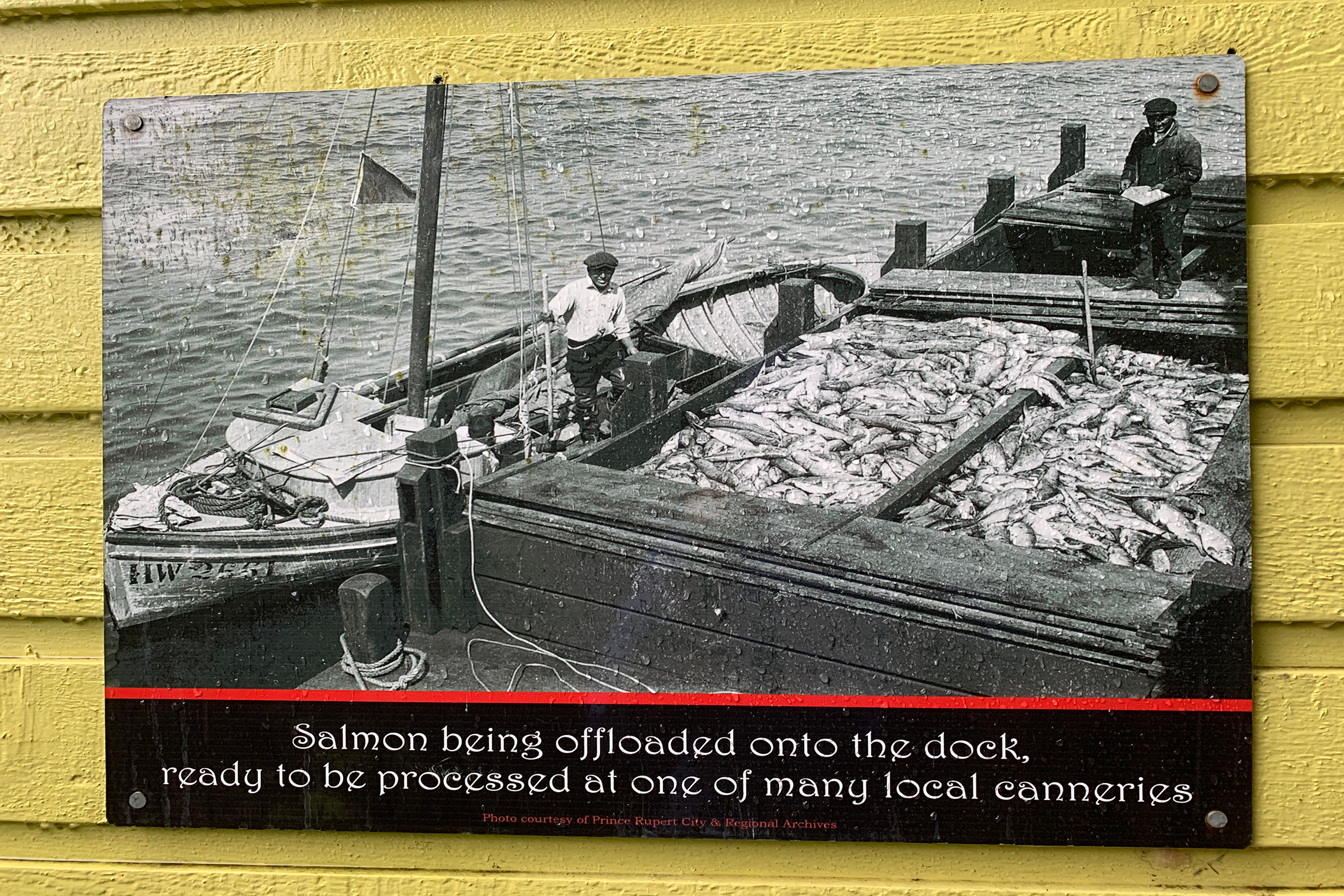 An archival photo posted on the wall of a restaurant in Prince Rupert, at the mouth of the Skeena River, shows fishermen on wooden sailboats unloading their catch. Photograph by Lesley Evans Ogden