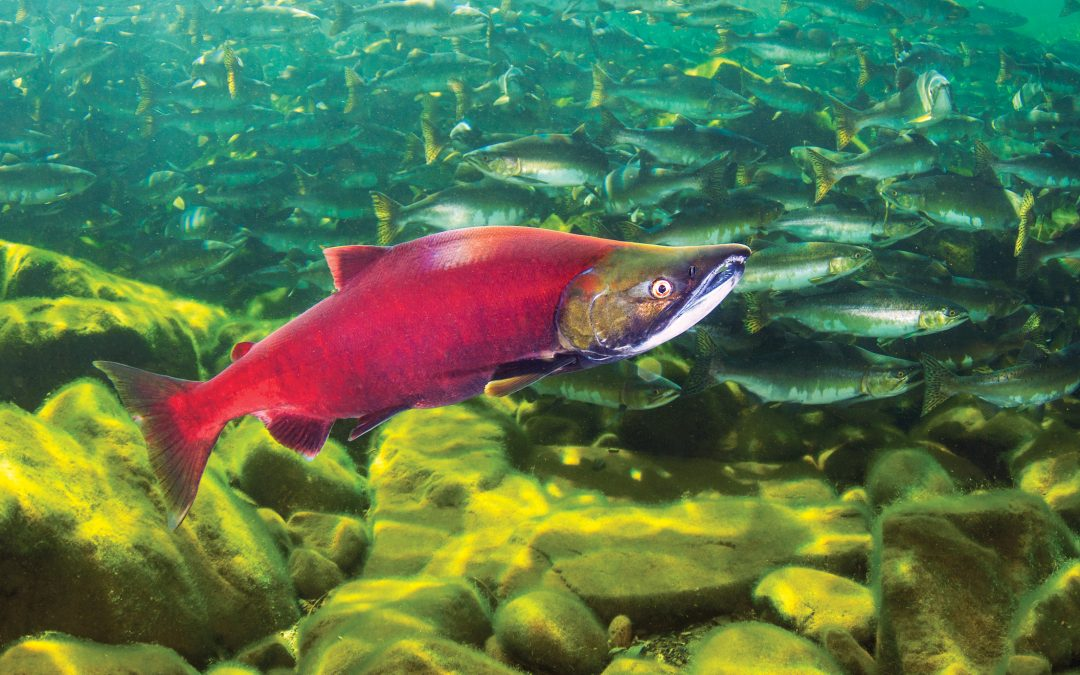 Scales of Reference - sockeye salmon