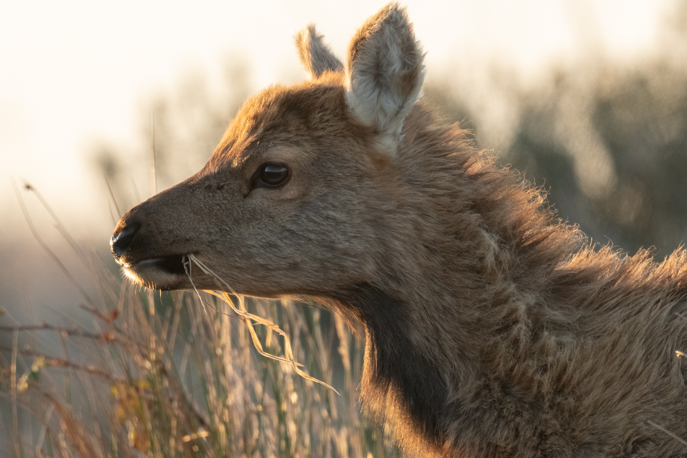 A tule elk calf grazes in the glow of sunset in the Elk Preserve section of Point Reyes National Seashore.