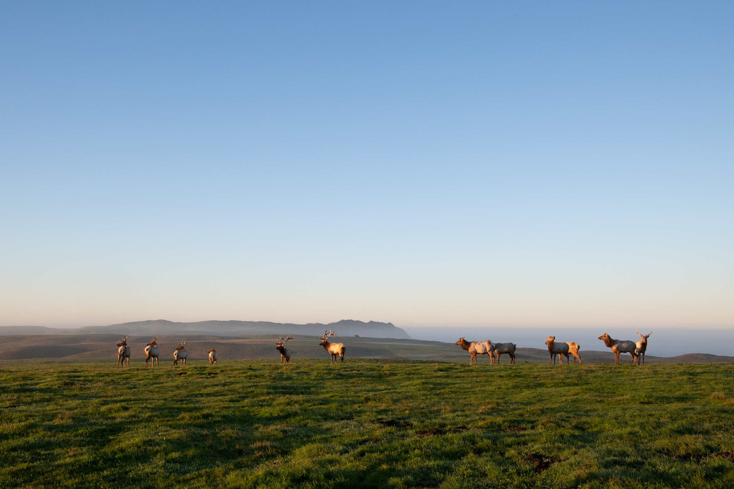A herd of tule elk grazes on a bluff overlooking the Pacific Ocean at Point Reyes National Seashore.