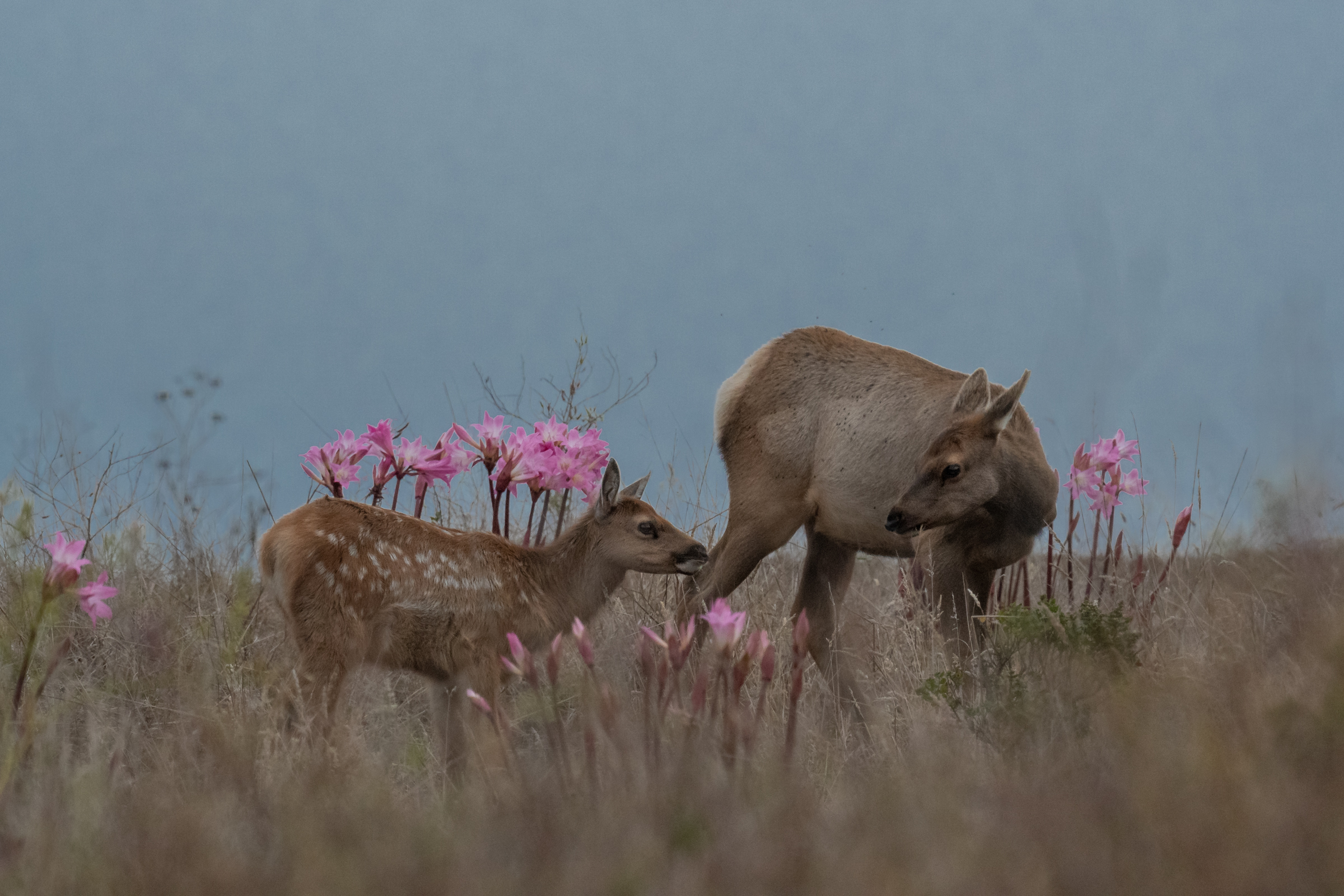 A tule elk cow and her calf graze in a patch of Amaryllis belladonna above Drake's beach.