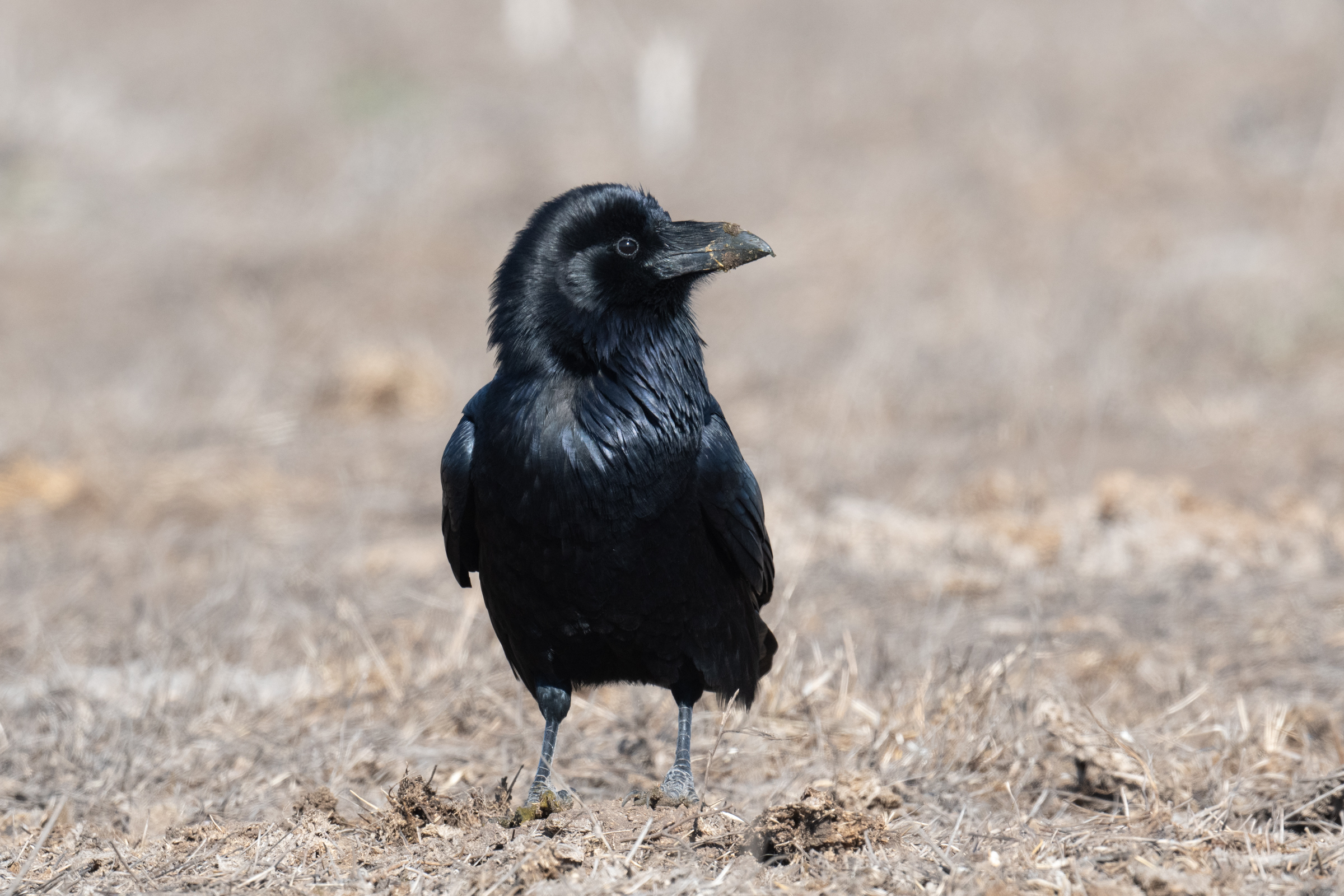 Ravens are attracted to ranches and dairies in the Park, both by the manure and by the carrion that results when ranchers plant and harvest fields for silage to feed their cattle.