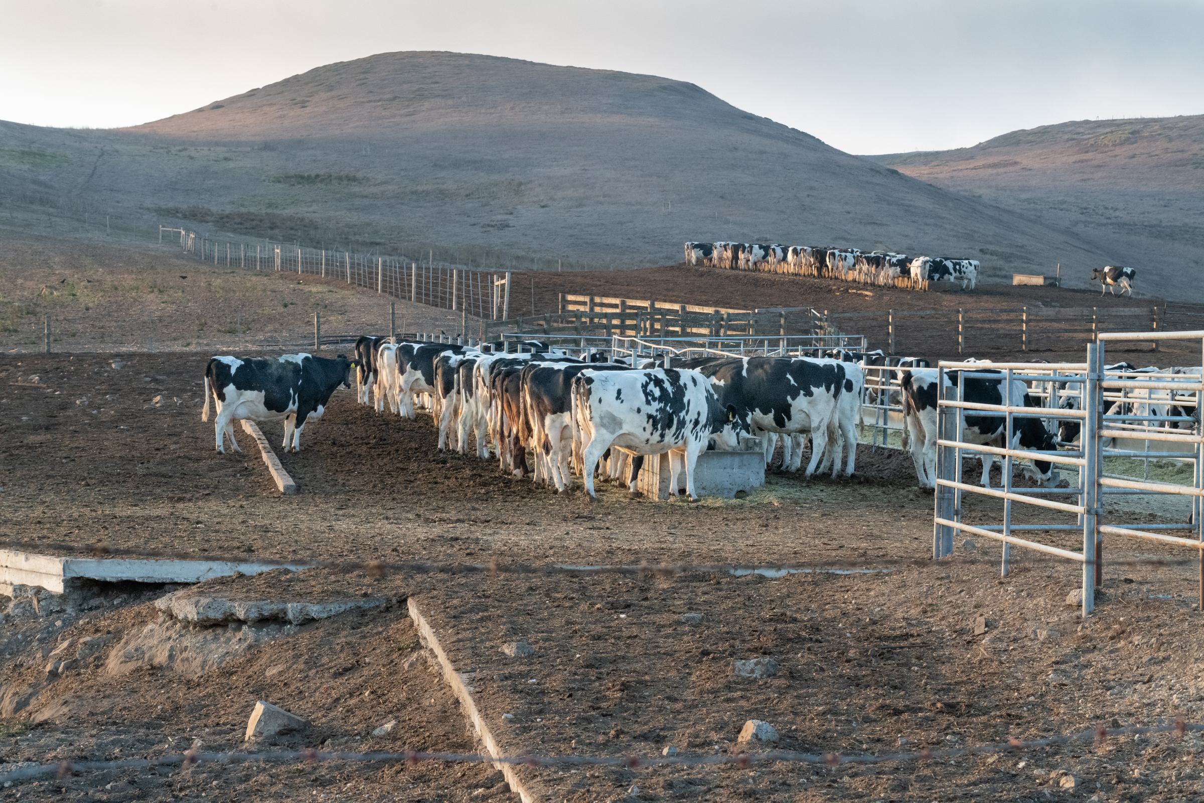 Dairy cattle feed from troughs at sunset at one of the large ranches at Point Reyes National Seashore.