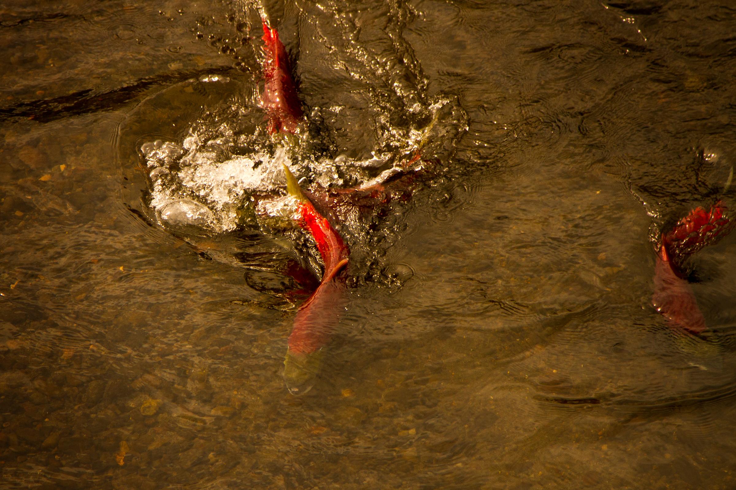 Spawning sockeye make their way up increasingly shallow tributaries of British Columbia's Skeena River. Photograph by Dan Mesec