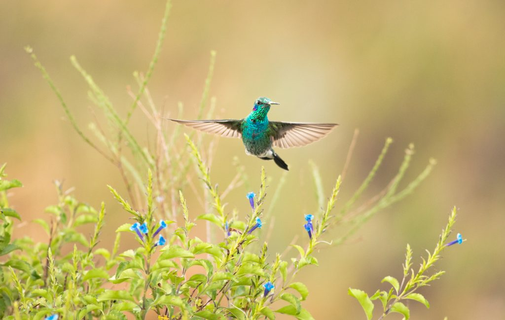 The Espinhaço mountains are centers of endemism and diversity for several groups of flora and fauna, including hummingbirds. Here, a white-vented violetear approaches the flowers of a Stachytarpheta glabra in Sempre Vivas National Park to feed on their nectar.