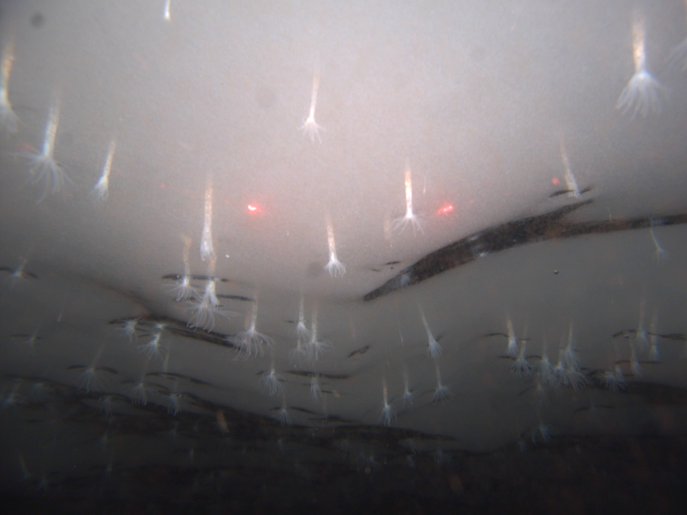 When Bob Zook lowered his ROV, SCINI (Submersible Capable of under-Ice Navigation and Imaging), through a narrow hole in Antarctica's Ross Ice Shelf in 2010, he found the underside of the ice dotted with thousands of sea anemones—a mysterious species, new to science. Photograph by Bob Zook / SCINI ROV