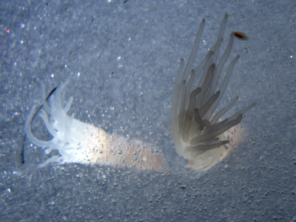 Crawling up and down the tentacles of the ice anemones were small animals, which Bob Zook believes were amphipod crustaceans. Photograph by Bob Zook / SCINI ROV