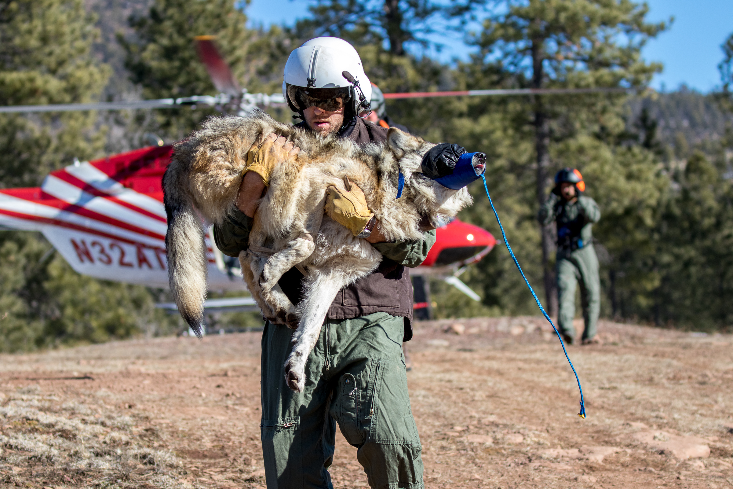 Mexican wolf #M1296 is carried from a helicopter to the Alpine, AZ field office to be processed by biologists before being returned to the location where he was captured. Photograph by Christina Selby