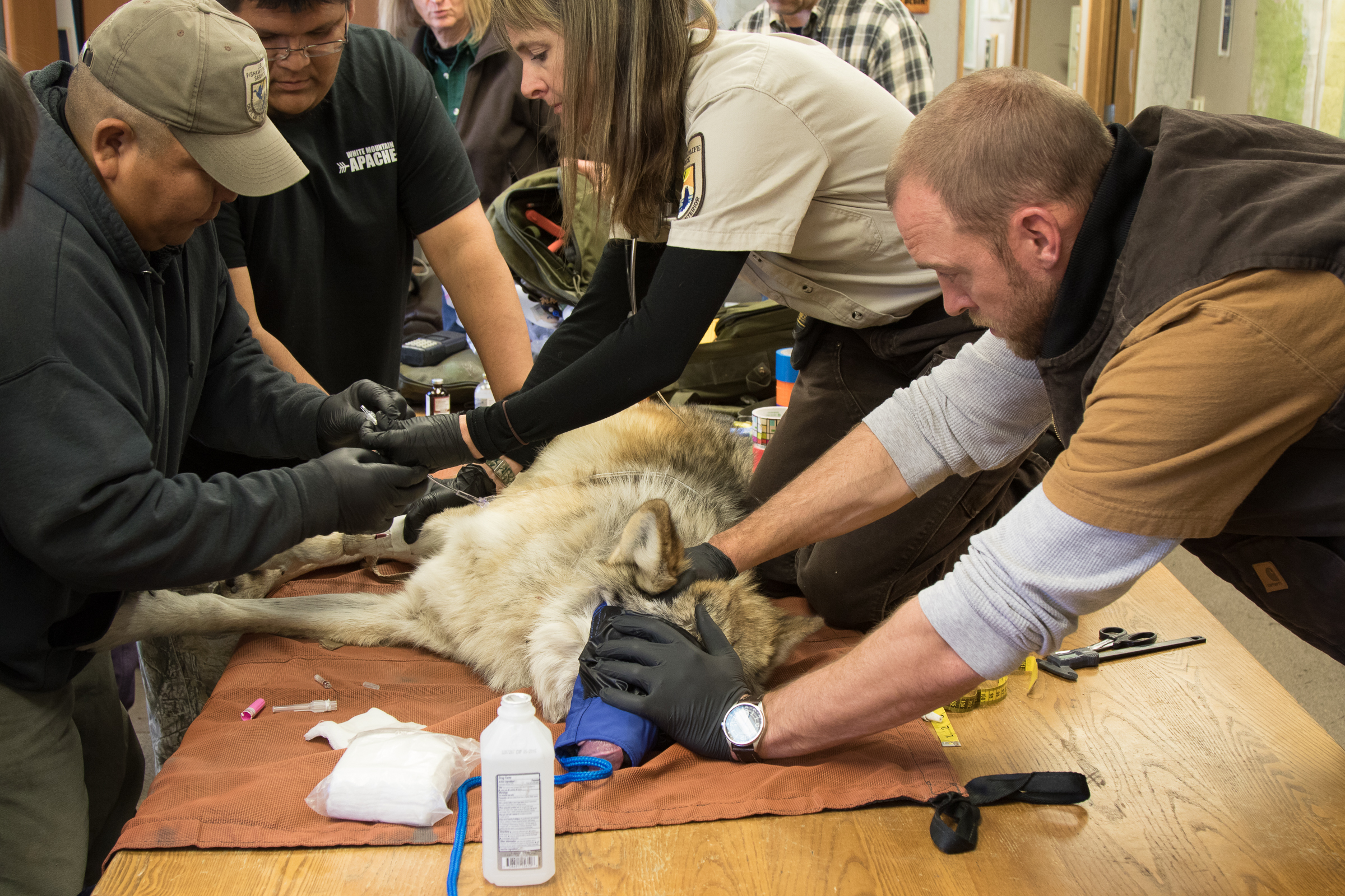 Interagency field team members from the White Mountain Apache Tribe of Arizona, Arizona Game and Fish, and the U.S. Fish and Wildlife Service work together to administer vaccinations, take blood samples, and refit wolf #M1296 with a GPS collar. Photograph by Christina Selby