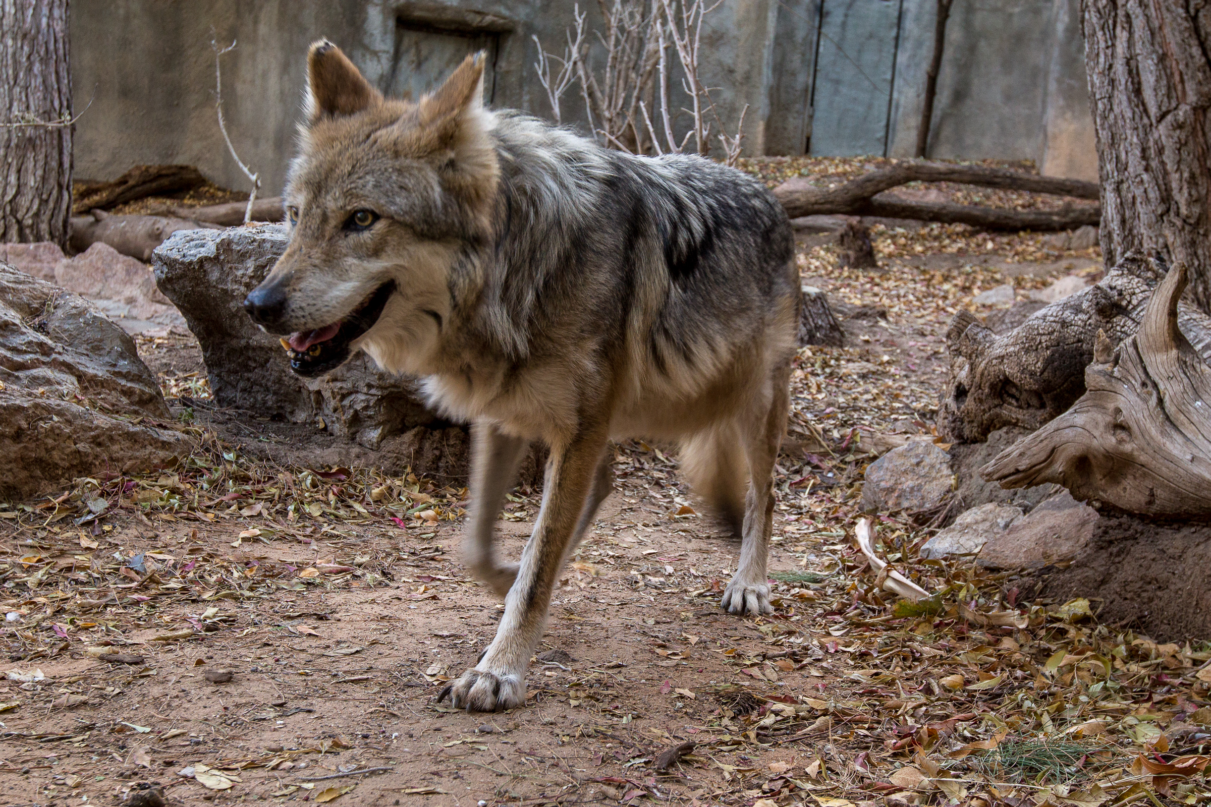 This Mexican wolf at the El Paso Zoo is part of a captive breeding program aimed at increasing the genetic diversity in Mexican wolf populations. Photograph by Christina Selby