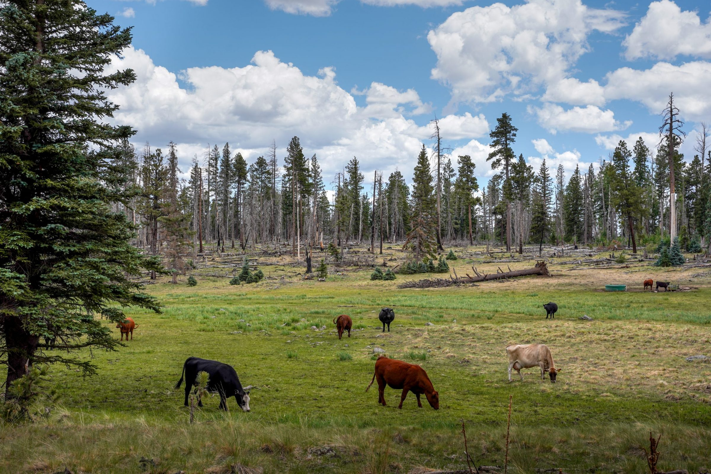 A herd of cattle graze in a forested area. Utilizing non-lethal strategies for protecting cattle, such as employing range riders to monitor the locations of collared wolves, helps to reduce livestock predation and conflict between humans and wolf recovery efforts. Photograph by April Reese
