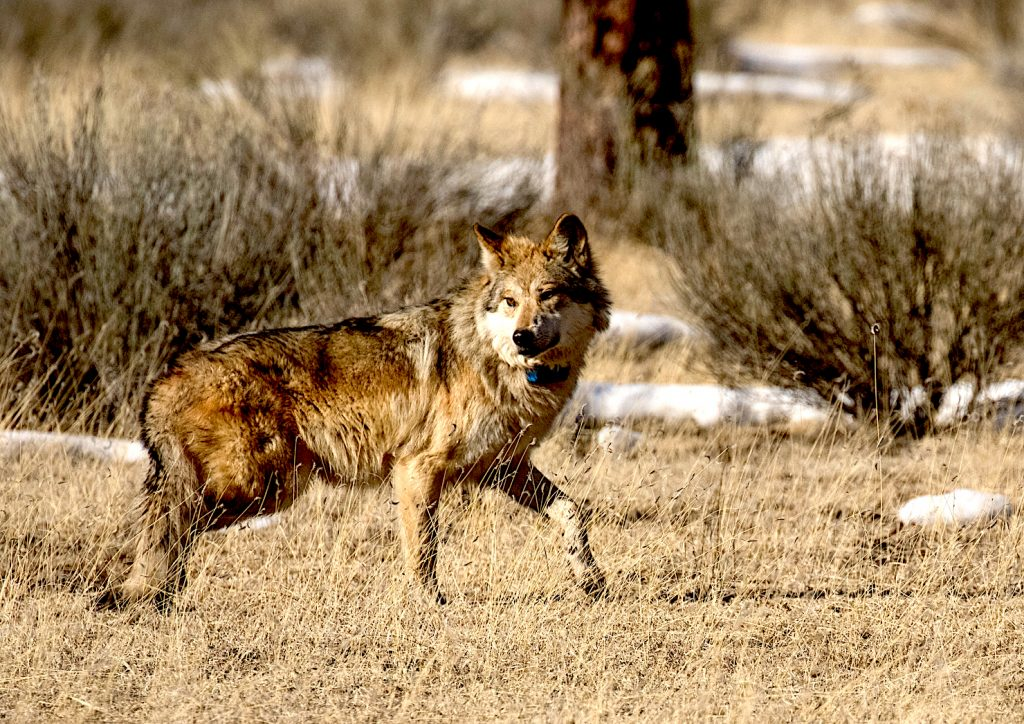 """Mexican wolf """"M1296"""" walks off a sedative after being processed and released back into the field during a January 2016 annual Mexican wolf count based out of Alpine, Arizona. After receiving vaccinations and a new GPS collar, M1296 was reacquainted with his mate not far from where he was initially captured. Photograph by Christina Selby"""