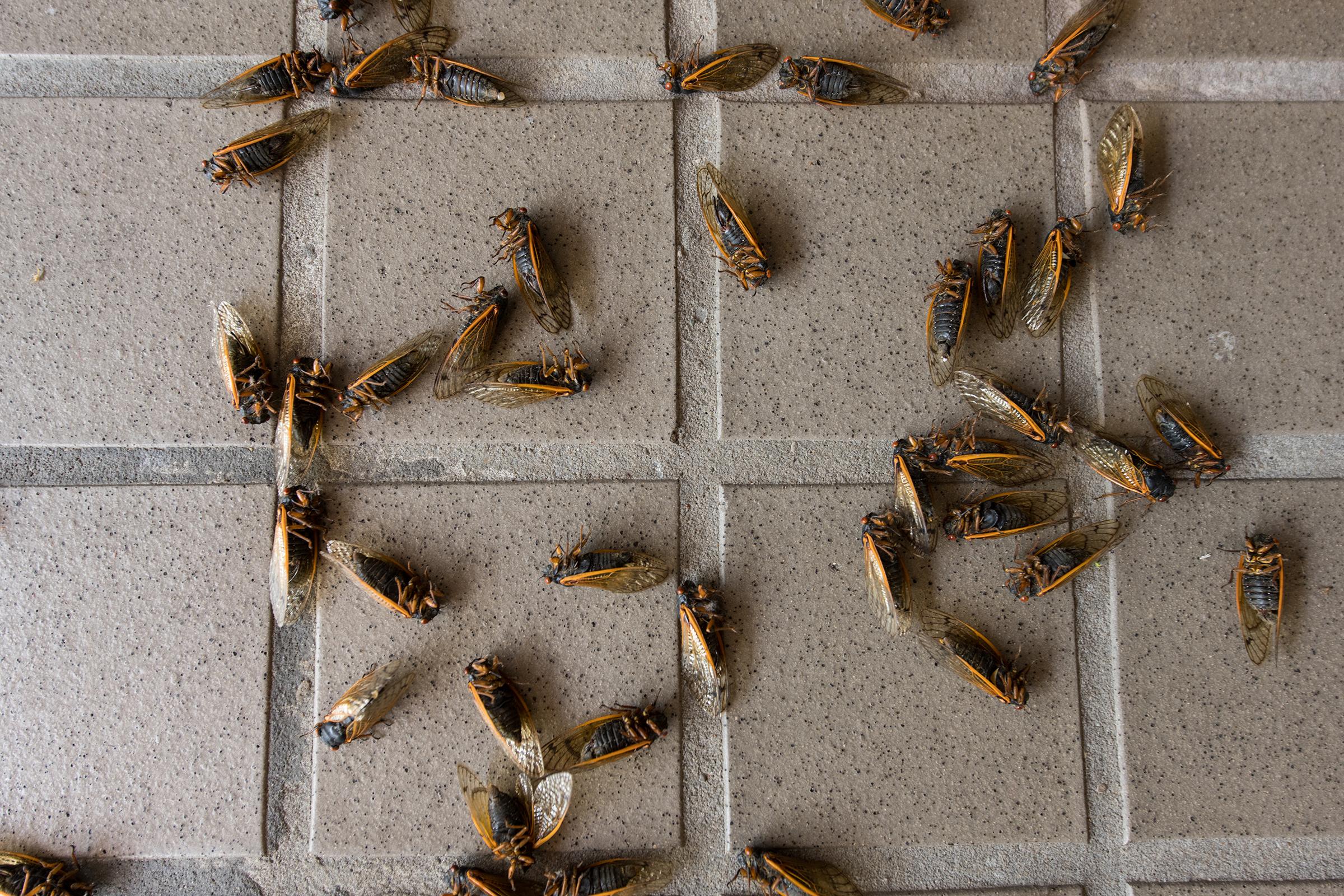Dead cicadas lay outside a shop in downtown Cincinnati on June 13, 2021.