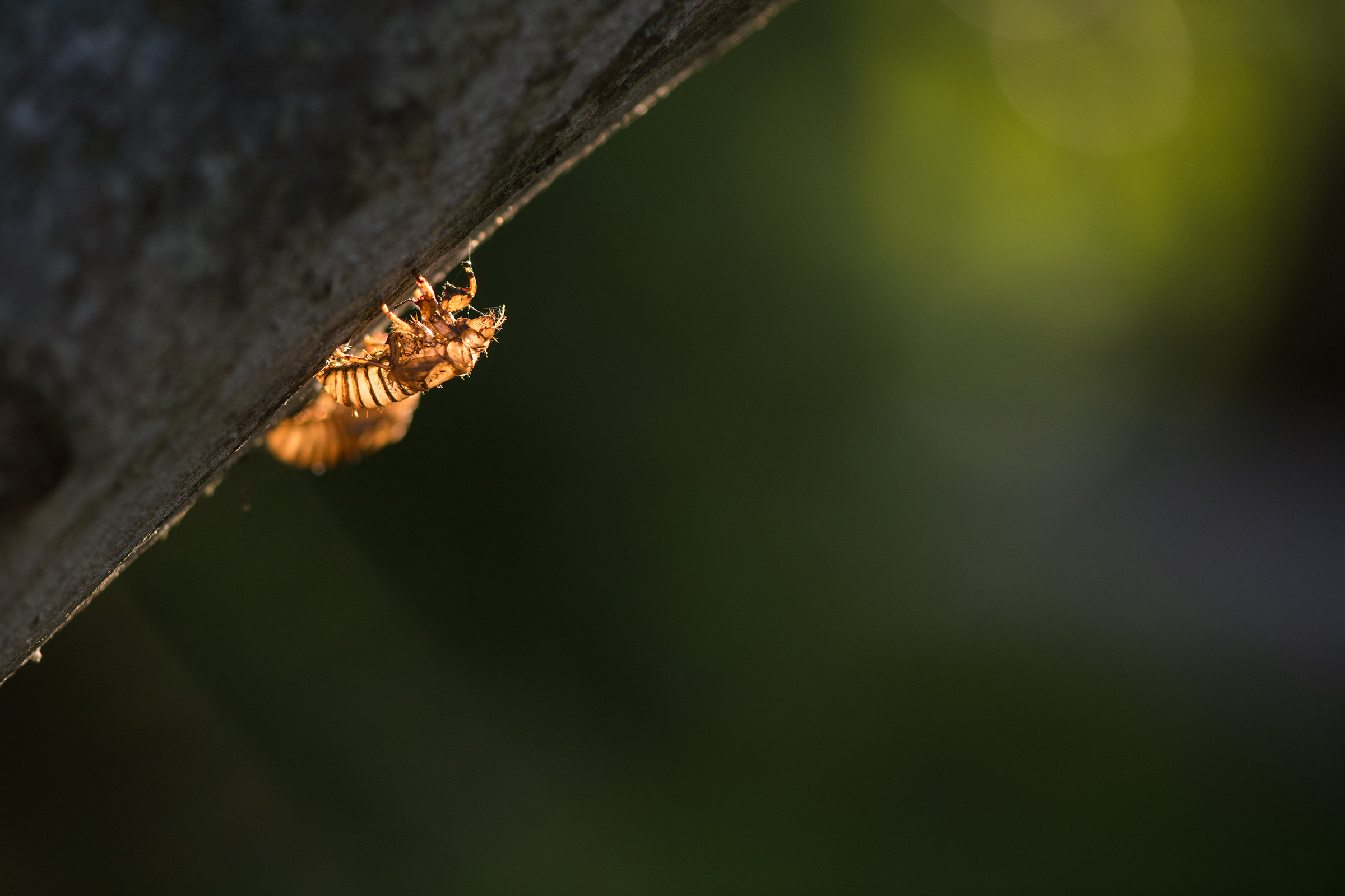 A Brood X cicada exoskeleton remains attached to the trunk of a tree in the Ohio River Valley.