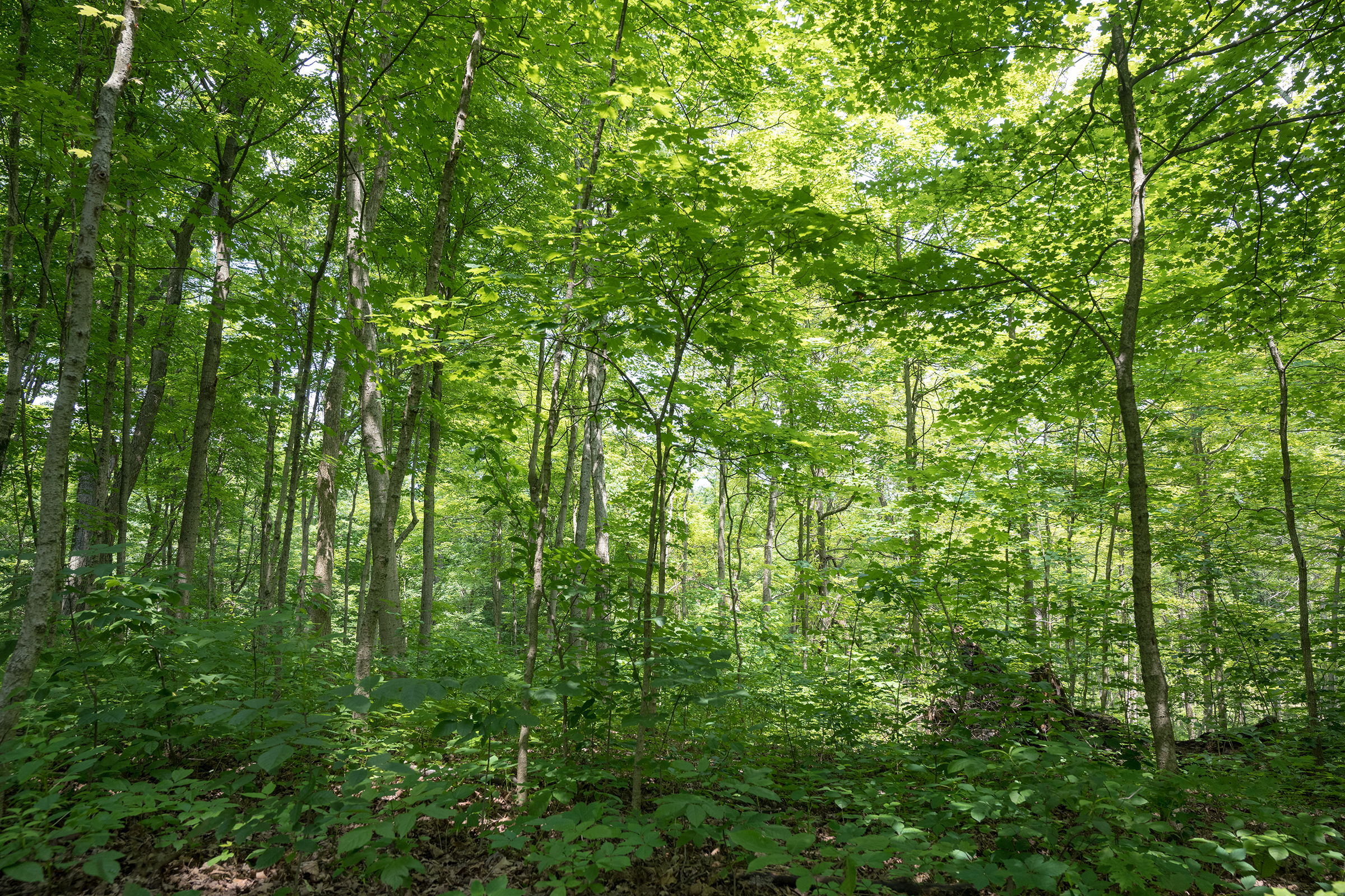 Deciduous forests just outside of Cincinnati, Ohio are filled with cicadas in June of 2021.
