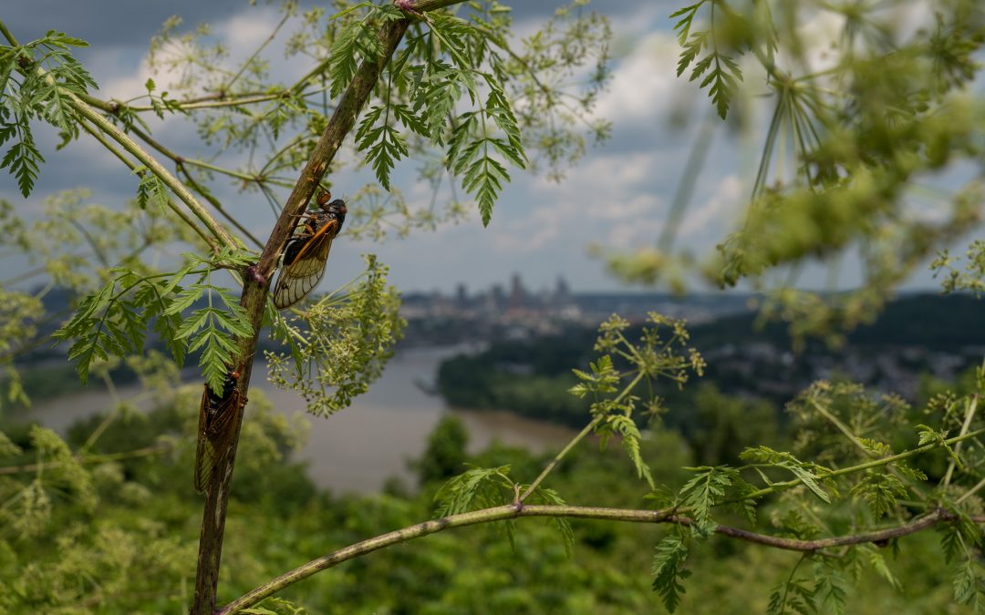 A Cicada calls from a plant with the Cincinnati, Ohio skyline in the background on June 12, 2021.
