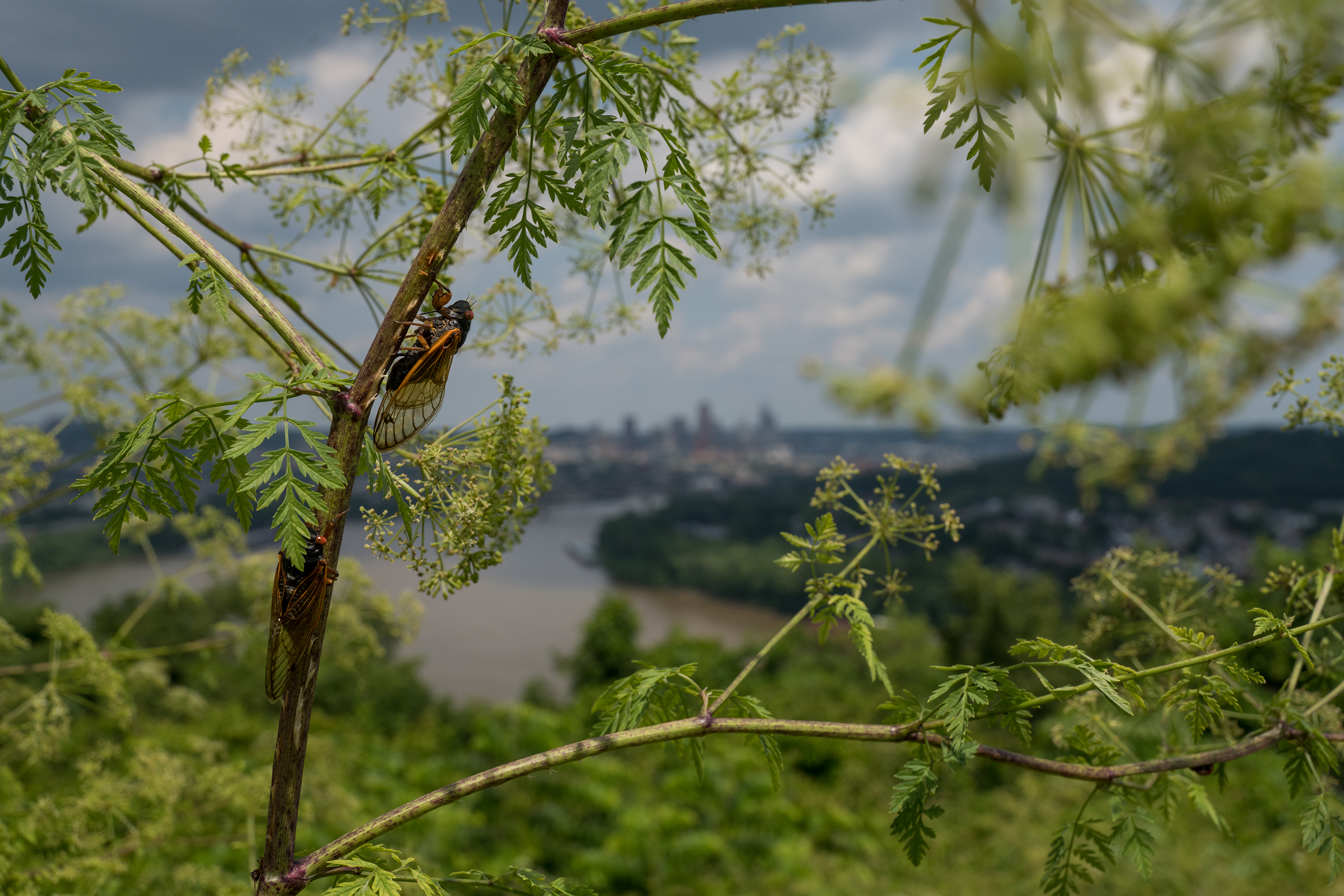Cicadas call from near the top of a shrub with the Cincinnati, Ohio skyline in the background.