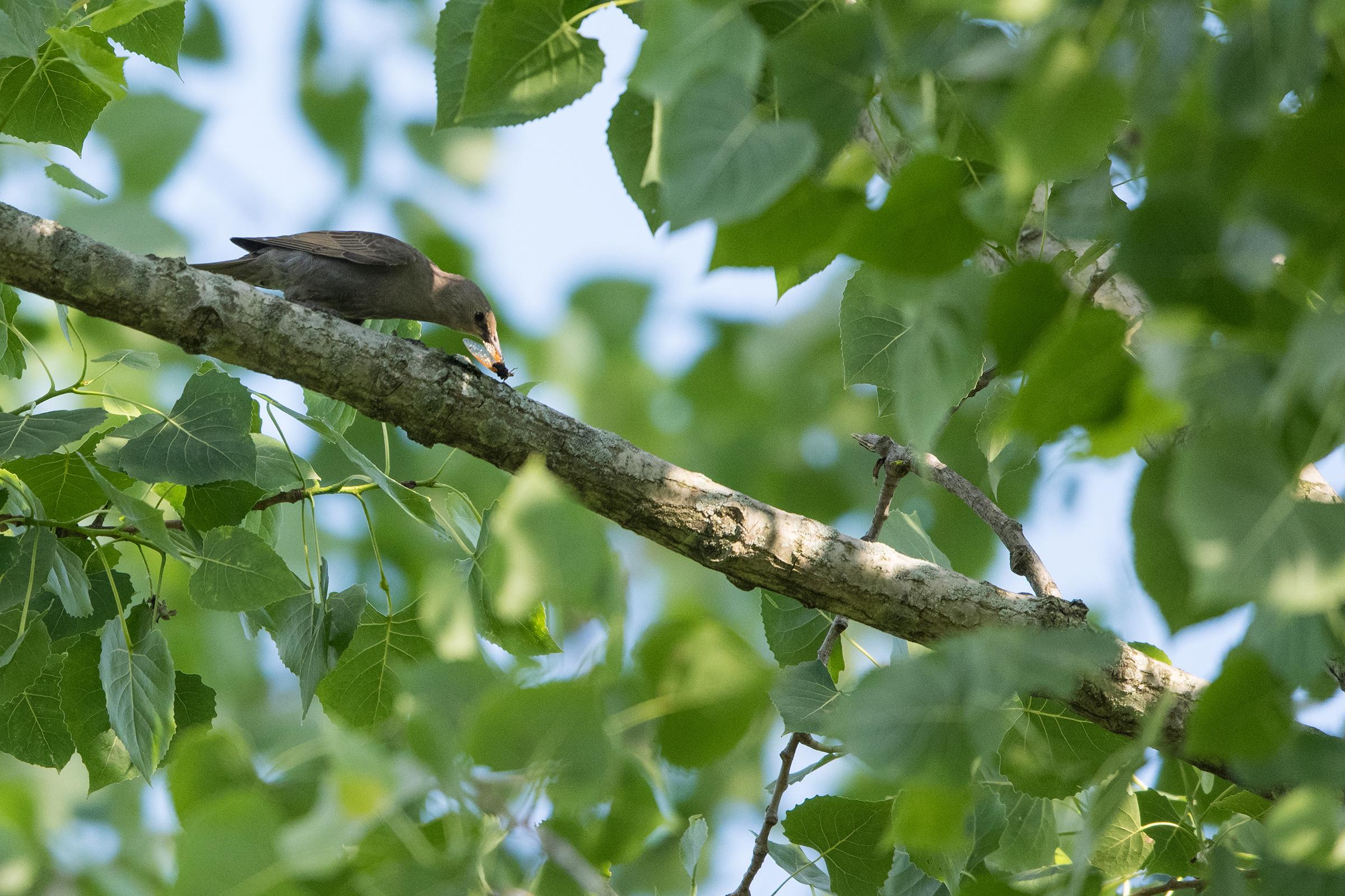 A juvenile European starling subdues a Brood X cicada near Cincinnati, Ohio in June of 2021.