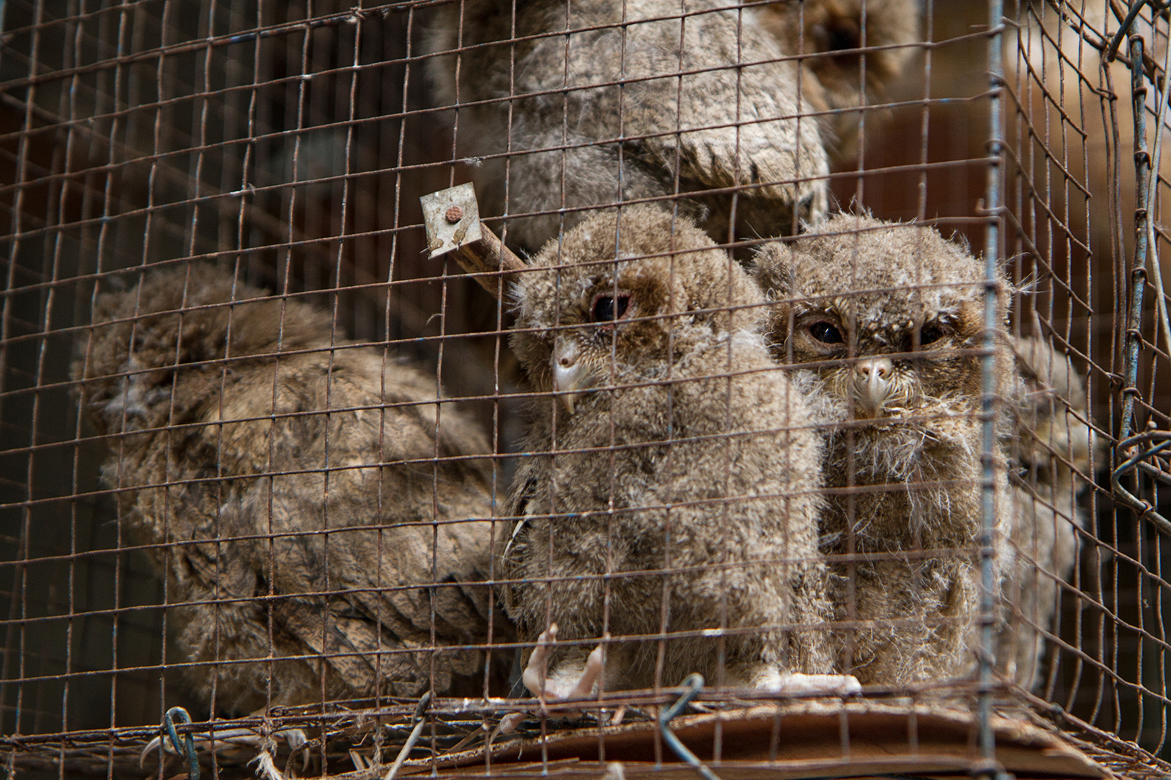 Baby owls in a cage at an animal market in Yogyakarta, Indonesia. Photograph by Ibenk_88 / Shutterstock