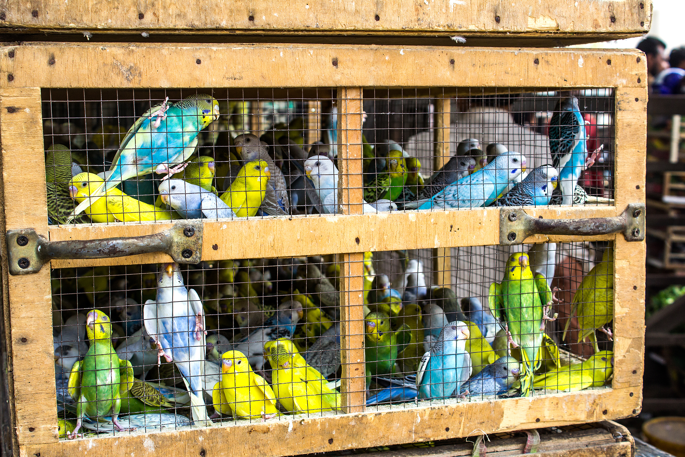 An overpacked cage of birds being sold at a live animal market. Photograph by Faraz Hyder Jafri