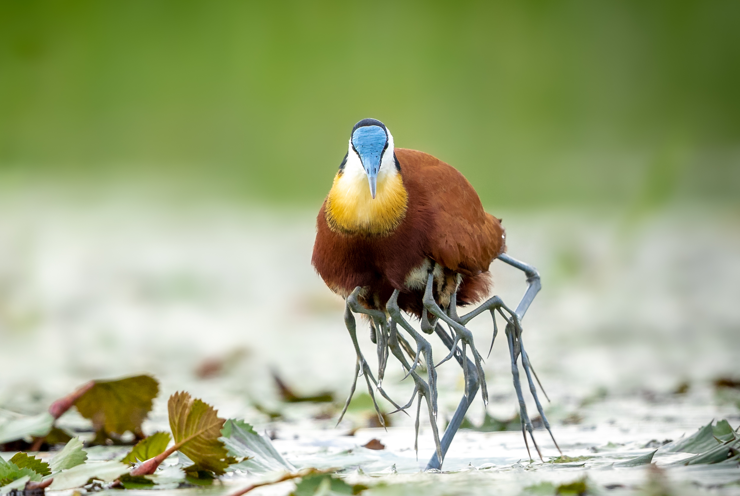 African jacana male with babies - by Charl Stols